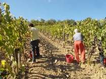 vendemmia vertine 2019 (20)