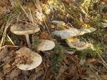 vertine-funghi-gentili-3