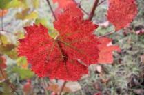 vitarium viti rosse san felice (1)