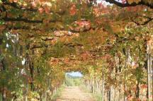 vitarium viti rosse san felice (10)