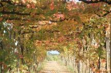 vitarium viti rosse san felice (11)