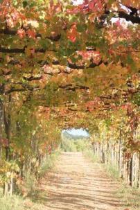 vitarium viti rosse san felice (12)
