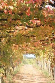 vitarium viti rosse san felice (13)