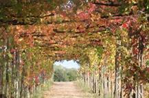 vitarium viti rosse san felice (14)