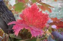 vitarium viti rosse san felice (2)