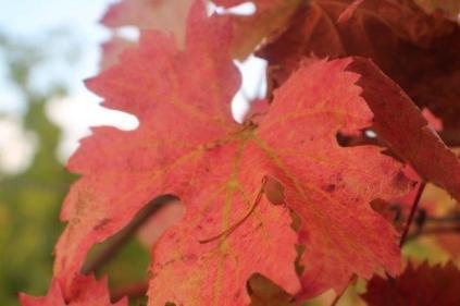 vitarium viti rosse san felice (20)