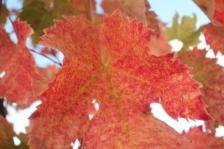 vitarium viti rosse san felice (23)