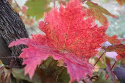 vitarium viti rosse san felice (3)