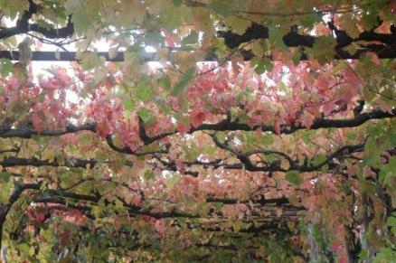 vitarium viti rosse san felice (31)
