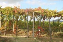 vitarium viti rosse san felice (5)