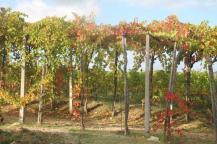 vitarium viti rosse san felice (6)