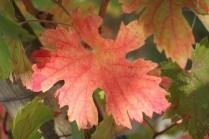 vitarium viti rosse san felice (7)