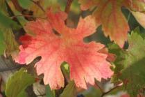 vitarium viti rosse san felice (8)