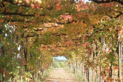 vitarium viti rosse san felice (9)