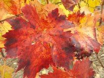 foglie canaiolo vertine (1)