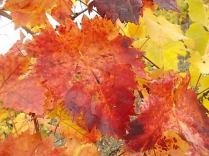 foglie canaiolo vertine (2)