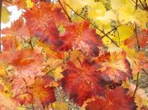 foglie canaiolo vertine (3)