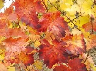 foglie canaiolo vertine (4)
