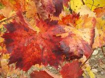 foglie canaiolo vertine (5)