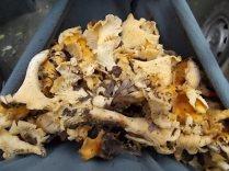 funghi vertine (1)