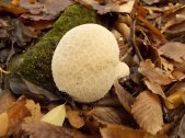 funghi vertine ottobre 2019 (20)