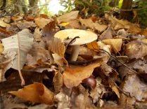 funghi vertine ottobre 2019 (23)