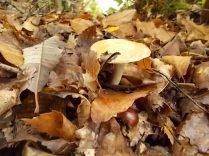 funghi vertine ottobre 2019 (24)