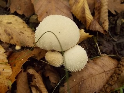 funghi vertine ottobre 2019 (28)