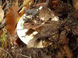 funghi vertine ottobre 2019 (30)