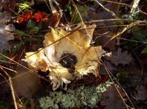 vertine bosco funghi novembre (10)