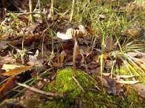 vertine bosco funghi novembre (2)