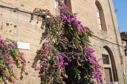 boouganville piazza del mercato siena (7)