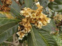 la fioritura del nespolo (1)