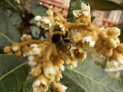 la fioritura del nespolo (10)