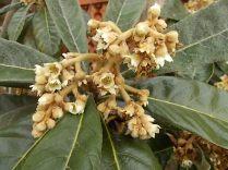 la fioritura del nespolo (2)
