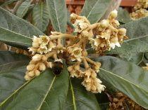 la fioritura del nespolo (3)