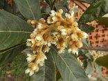 la fioritura del nespolo (6)