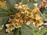 la fioritura del nespolo (8)