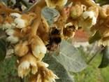 la fioritura del nespolo (9)