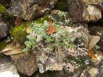 muschio su muro di terrazza (15)