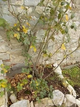 potare le rose (3)