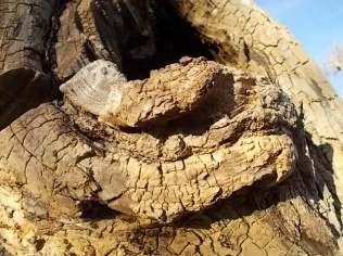 tronco di moro gelso (10)