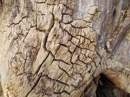 tronco di moro gelso (11)