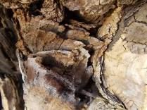 tronco di moro gelso (2)