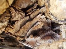 tronco di moro gelso (3)