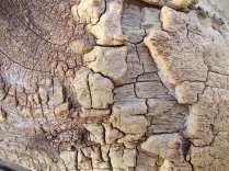 tronco di moro gelso (5)