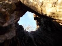 tronco di moro gelso (6)