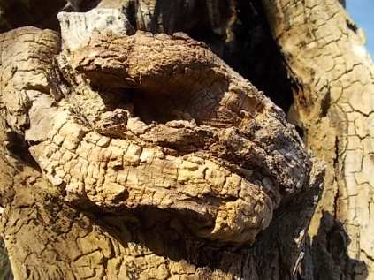 tronco di moro gelso (8)