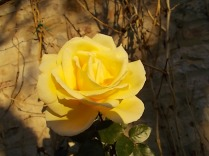 vertine rose dicembrine (1)