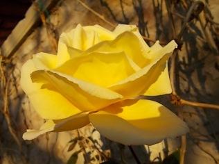 vertine rose dicembrine (10)